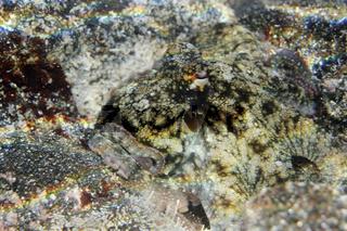 Getarnter Krake auf buntem Stein