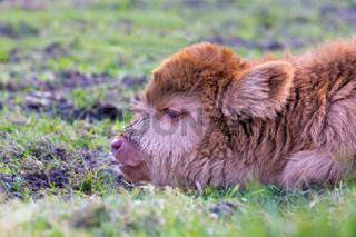 Head of brown newborn scottish highlander calf