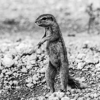 Erdhörnchen, African Ground Squirrel
