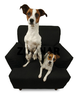Two Jack Russell Terriers on a black chair