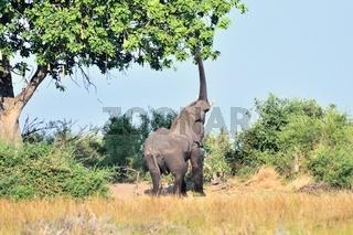 naschen vom Baum mit Rüssel Elefant