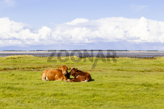 Kühe am Wattenmeer auf Amrum, Cows at the Wadden Sea on Amrum, Germany