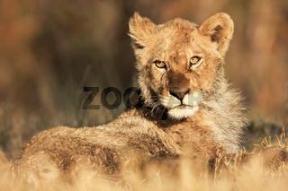 Afrikanischer Löwe, Kalahari, South Africa