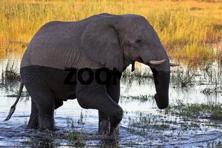 Elefant im Abendlicht im Susuwe Nationalpark, Namibia