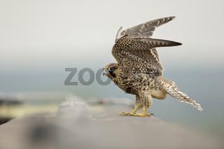 noch ein wenig unbeholfen... Wanderfalke *Falco peregrinus*