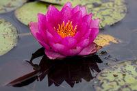 Nymphaea,seerose,wasserrose,Water-lilies,Nymphaea Peltata,