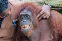 Zoo Caretaker playing with smiling male orangutan