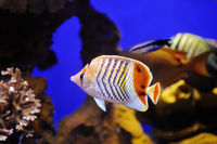 Crown Butterflyfish in Red Sea