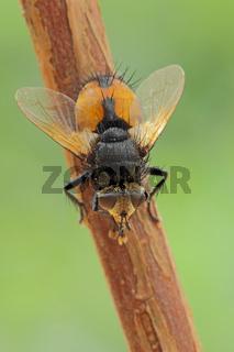 Raupenfliege (Nowickia sp.)