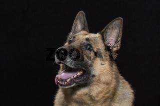 Portrait eines deutschen Schäferhundes