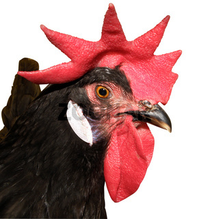 Red Combed Rooster