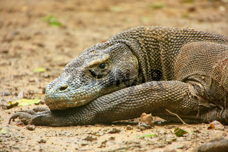 Portrait of Komodo dragon resting on Rinca Island in Komodo National Park, Nusa Tenggara, Indonesia