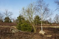 Schneverdingen - Bäume in einer Heidelandschaft