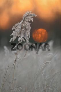 Sonnenuntergang im Schilf... Schilfgras *Phragmites australis*