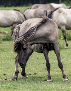 Dehnübung, wild lebende Pferde im Merfelder Bruch, Dülmen, Nordrhein-Westfalen, Juni,
