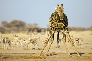 Giraffe (Giraffa camelopardalis) beim Trinken mit einer Herde Wasserloch, Nxai Pan, Makgadikgadi Pans National Park, Botswana, Afrika, Giraffe and Springbok antelopes at waterhole, Africa