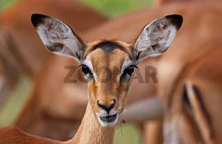Impala, Schwarzfersenantilope, Antilope, Südafrika, South Africa, Aepyceros melampus