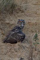mantelnd... Europäischer Uhu *Bubo bubo* versteckt Beute unter seinen Flügel, lässt Flügel hängen