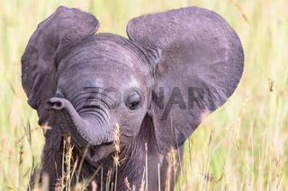 Portrait of an elephant calf in the grass