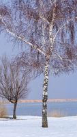 Birke am See mit Schnee im Winter