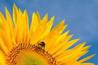 Ausschnitt der Blüte einer Sonnenblume mit einer Hummel