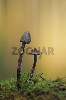 Duftender Gürtelfuß (Cortinarius flexipes)