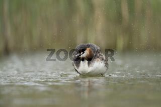 Wassertropfen fliegen... Haubentaucher *Podiceps cristatus*
