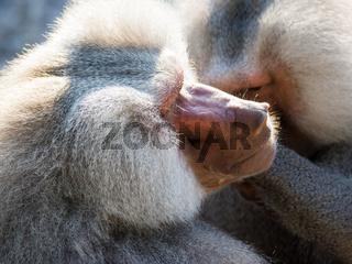 Grooming baboon monkeys