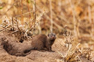 Junge Manguste vor ihrem Bau, Kruger NP, Südafrika - young mongoose, Kruger NP, South Africa
