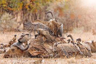 Weißrückengeier fressen toten Büffel, Kruger NP, Südafrika, white-backed vultures eating a dead buffalo, Kruger NP, South Africa