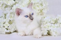 HEILIGE BIRMA KATZE, BIRMAKATZE, SACRED CAT OF BIRMA, BIRMAN CAT, KITTEN, BLUEPOINT,