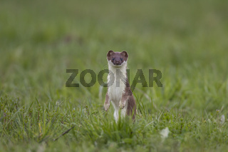 Hermelin, Mustela erminea, stoat