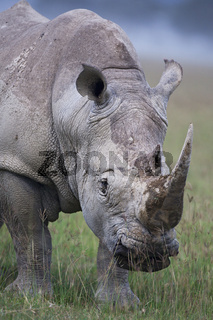 Breitmaulnashorn, (Ceratotherium simun), White Rhinoceros