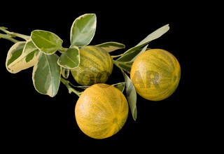 Calamondin variegata - citrofortunella