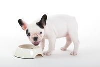 French puppy bulldog eating, isolated
