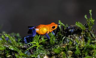Pfeilgift-Frosch in Costa Rica