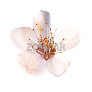 Almond white flowers