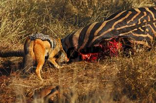 Schabrackenschakal firsst an einem Zebra Kadaver