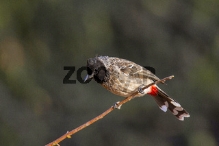 Red-vented Bulbul, Pycnonotus cafer