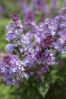 Gemeiner Flieder (Syringa-vulgaris-Hybride)