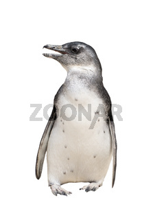 Full body portrait of jackass penguin isolated on white