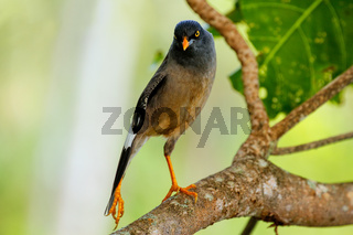 Jungle myna sitting on a tree on Taveuni Island, Fiji