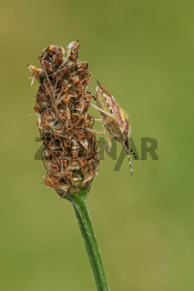 Beerenwanze (Dolycoris baccarum)