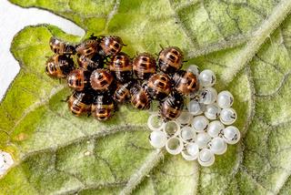 Schlüpfende Marienkäferlarven mit Eiern