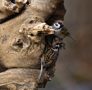 Feldsperling; Passer montanus; tree sparrow;