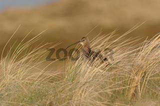 letztes Licht in den Dünen... Großer Brachvogel *Numenius arquata*