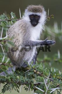 Gruene Meerkatze, (Cercopithecus aethiops), Vervet Monkey