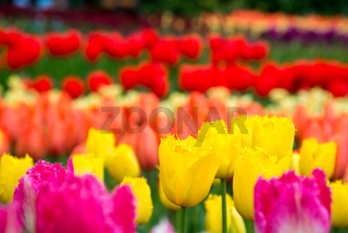 Blooming flowers in the park in Netherlands, Europe
