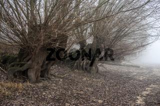 Kopfweiden am Altrhein