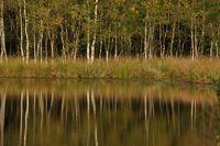 Birkenwald im Moor